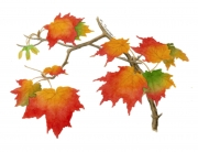 Acer_saccharum