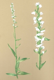 Platanthera-dilatata