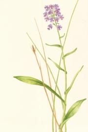 Platanthera grandiflora