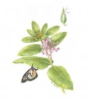 Aesclepias Syriaca (Common Milkweed)