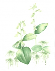 Neottia Convallarioides  (Broad-lipped Twayblade)