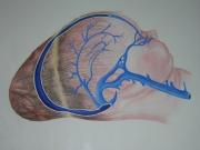 Venous sinuses Band'ls ring